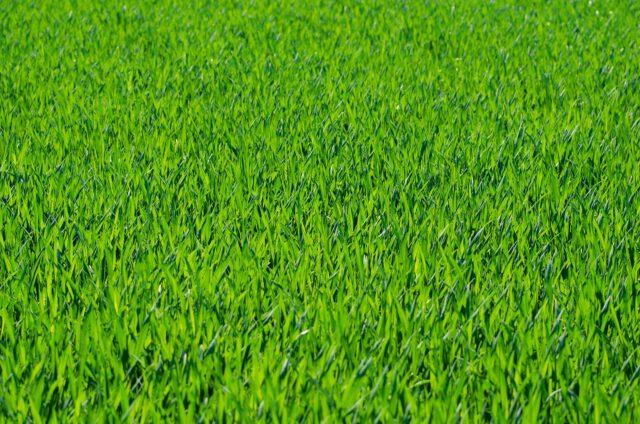 Jaką trawę do ogrodu wybrać?